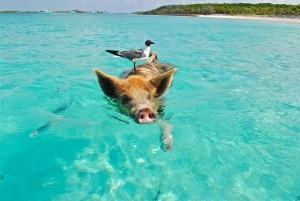 A bird riding a pig swimming in the sea